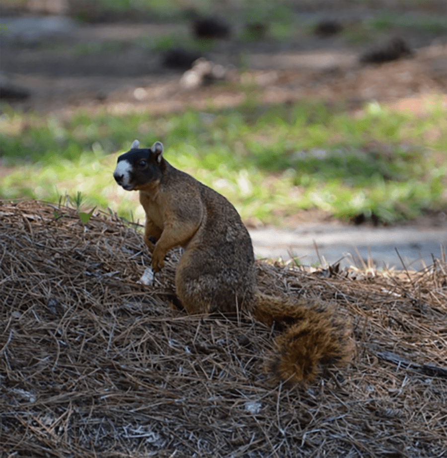 Picture2-copy Fox Squirrels Entertain Golfers at Whispering Pines